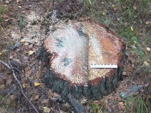 ВЧебаркуле возбуждено уголовное дело за преступную рубку деревьев