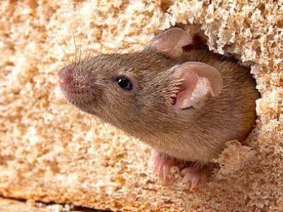 В чебаркульской пекарне нашли экскременты мышей