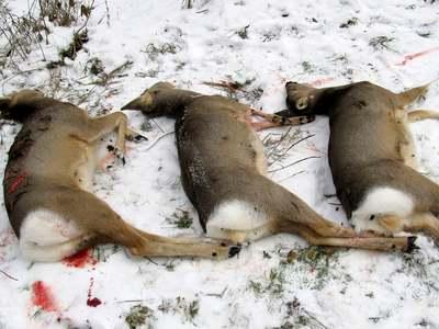 Миасский егерь нашёл убитых косуль на территории Чебаркульского района