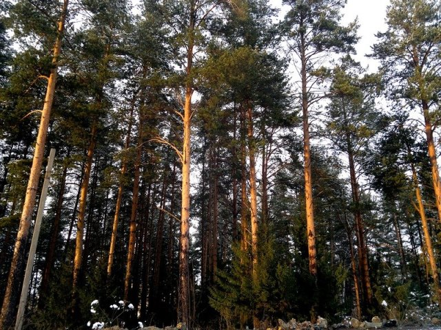 Отложи топор, не губи лес: жители окраины Златоуста спасли от вырубки излюбленный бор