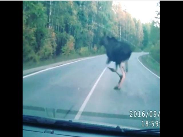 ВЧелябинской области лоси стали все чаще выходить наоживленные дороги