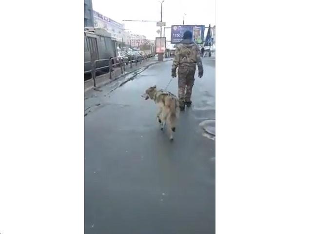 Депутат Заксобрания запечатлел волка на дорогах Челябинска