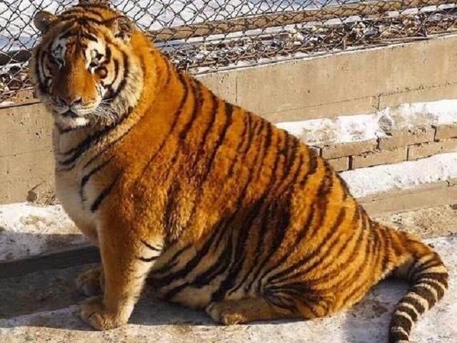 Известные всети интернет толстые амурские тигры сбили иуничтожили беспилотник