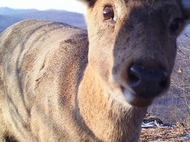 В Приморье леопард накормил тигров, оленей и куниц