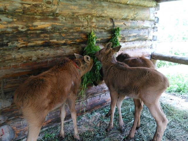 На Зюраткуле родились четыре лосенка