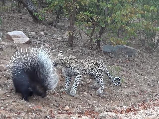 Видео дня: дикобраз проучил самонадеянного леопарда