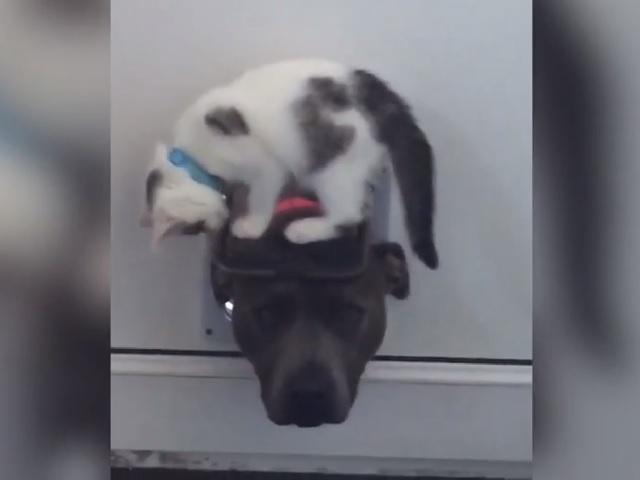 Видео дня: котёнок искусно троллит любопытного пса, пытающегося проникнуть в дом