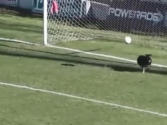 Видео дня: пёс эпично спас команду от ошибки голкипера