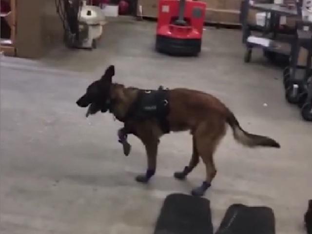 Видео дня: пёс развеселил Сеть, примерив свои новые зимние ботиночки