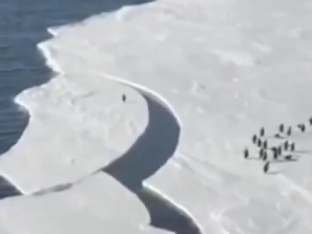 Видео дня: драматичный побег пингвинёнка с отколовшейся льдины растрогал соцсети