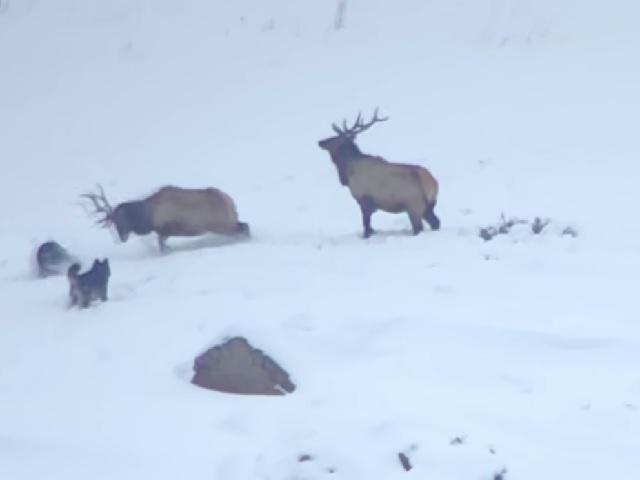 Видео дня: олени дают отпор стае голодных волков