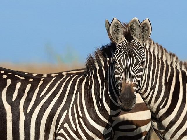 Пользователи потеряли голову зебры на новой оптической иллюзии
