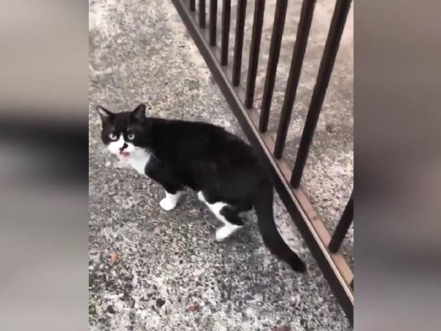 Видео дня: неуклюжий котейка прославился в Сети благодаря своему преследователю