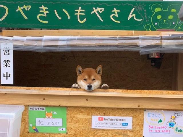 Видео дня: собака работает продавцом картофеля в Японии