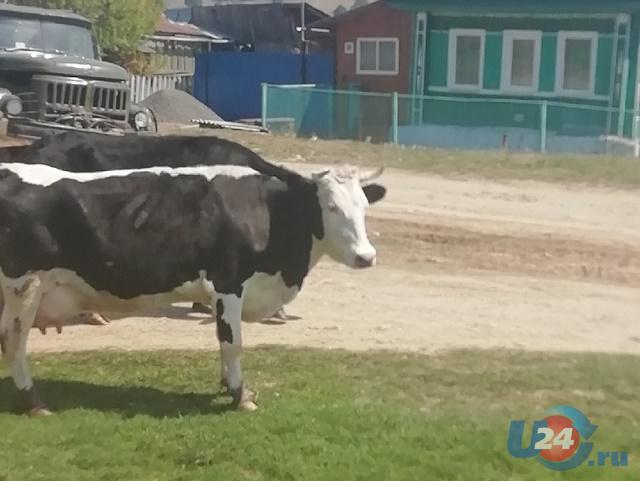 В Челябинской области корова едва не вспорола живот ребенку