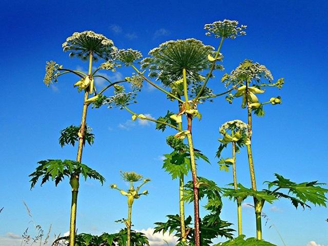 10 ядовитых растений, от которых лучше держаться подальше