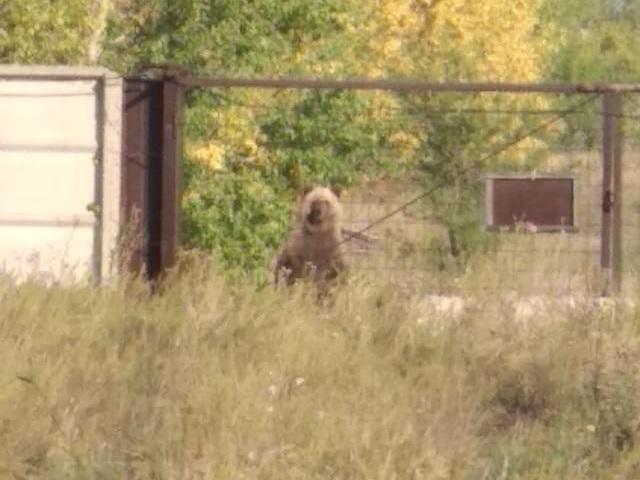 На Южном Урале очевидцы сняли на видео медведицу с медвежонком