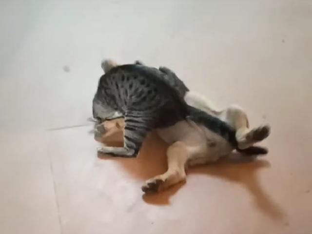 Видео дня: эффектный борцовский приём в исполнении котёнка рассмешил интернет-пользователей