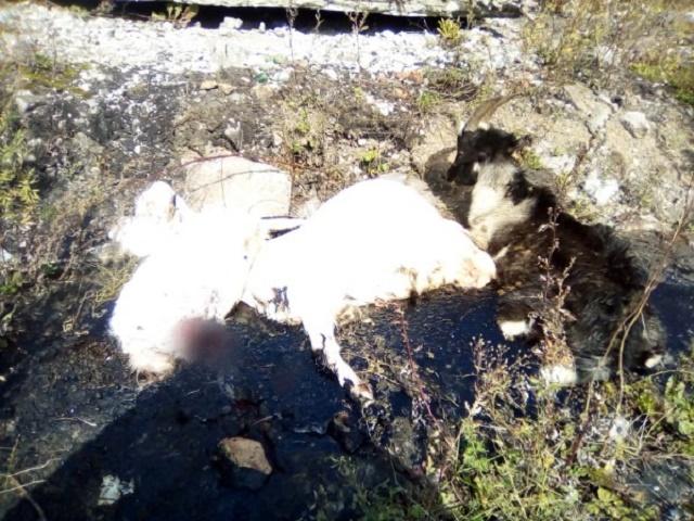В Челябинской области спасли коз, увязших в гудроновой луже