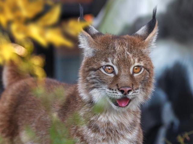 В Челябинском зоопарке появился котёнок-рысь