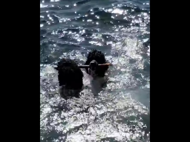 Видео дня: псы так мило тупят в воде с палочкой, что пользователи Сети не могут остановить свой смех