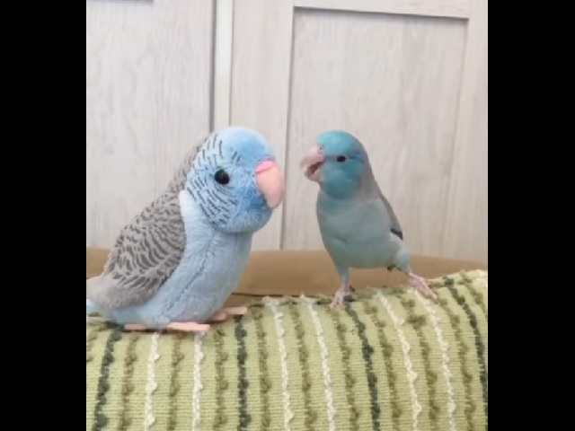 Уморительные ухаживания попугая за симпатичной куколкой стали хитом Сети