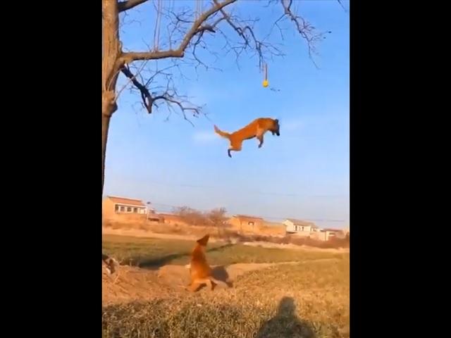 Невероятная тренировка летающих собак удивила интернет-пользователей