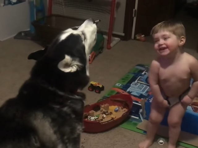 «Разговор» хаски и ребёнка сразил наповал интернет-аудиторию
