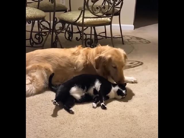 Реакция пса на разбудившую его кошку умилила пользователей Сети