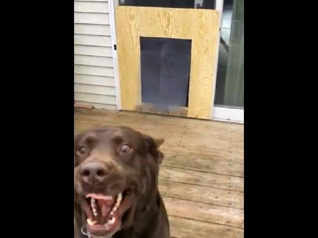 Парочка псов заставила хохотать пользователей после теста «собачьей двери»