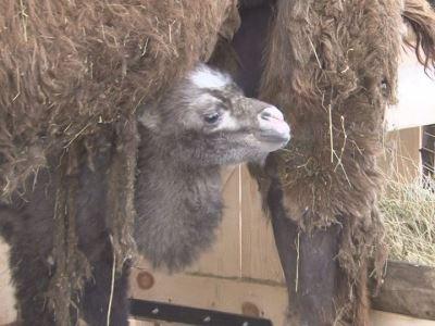 Родившегося в Златоусте верблюжонка назвали Уралом