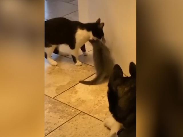 В Сети прославилась мама-кошка, запретившая котёнку знакомиться с «плохим» псом