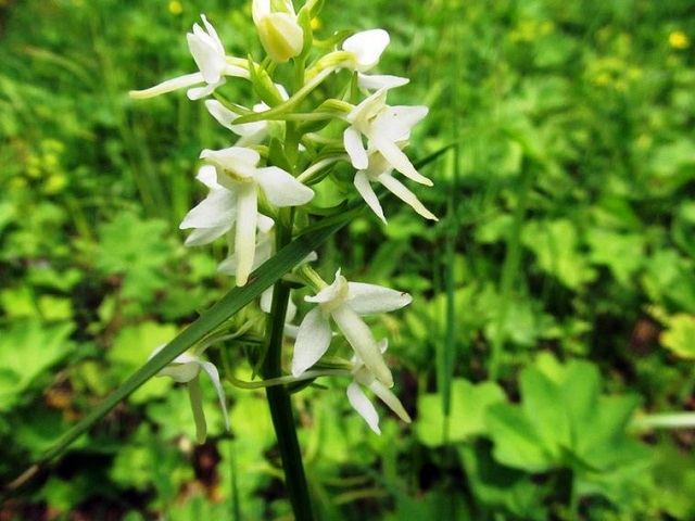 На Таганае раньше обычного срока зацвели орхидеи