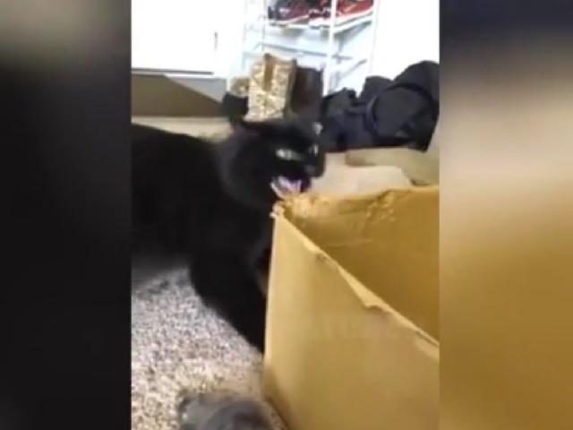Кот-собственник устроил истерику из-за любимой коробки и заставил хохотать пользователей