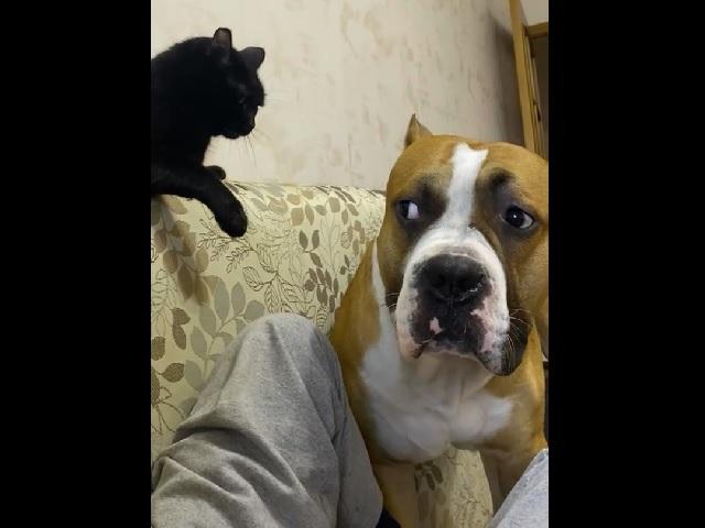 Задавил авторитетом: кот показал взрослому псу, кто в доме хозяин – смешное видео
