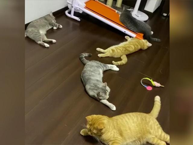 Реакция домашних кошек на чихнувшего хозяина заставила хохотать пользователей