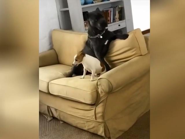 Малыш с характером: Сеть рассмешил крохотный терьер, подчинивший огромного пса