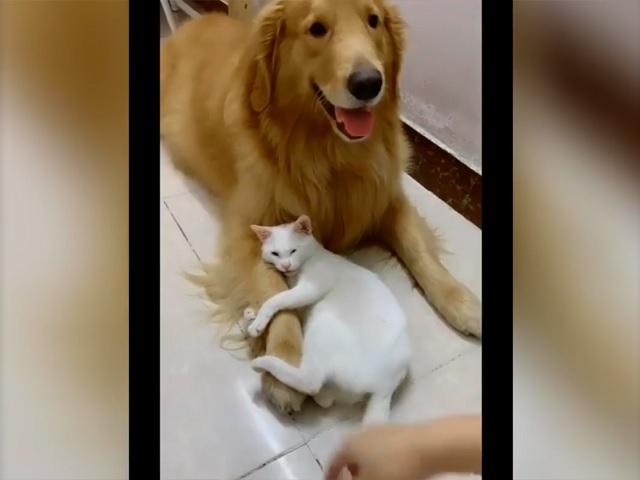 Соцсети умилила кошка, запретившая хозяйке трогать «своего» ретривера