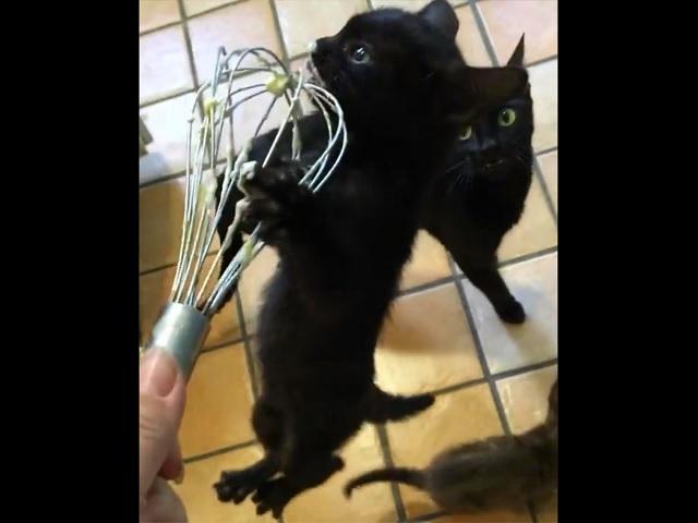 Голодный котёнок очаровал Сеть своим аппетитом и удивил хозяйку