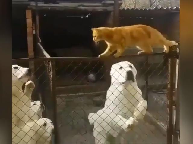 Сеть развеселил рыжий кот, заставивший понервничать нескольких алабаев