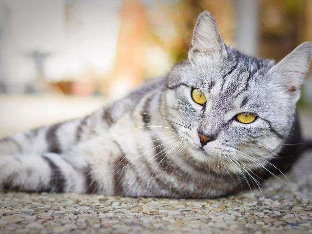 В Челябинской области из окна многоэтажки выбросили породистую кошку