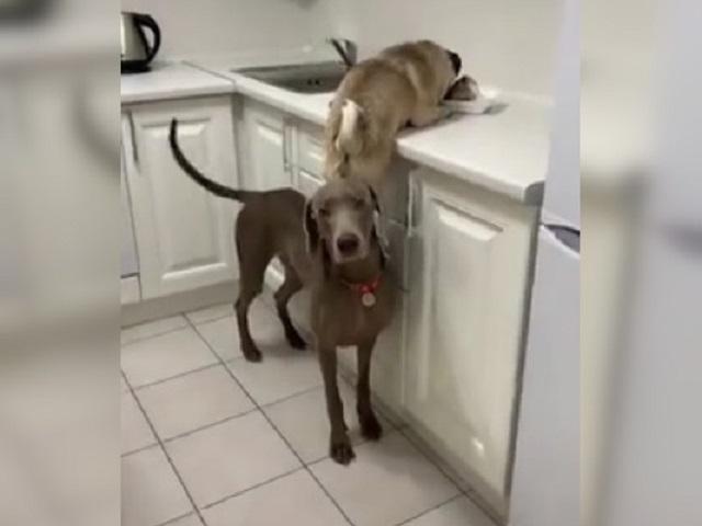 «Вы что делаете, собаки?»: парочка четвероногих обжор-воришек шокировала хозяйку