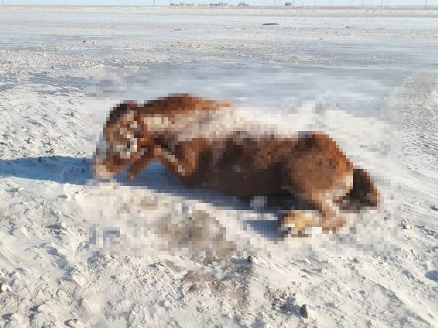 В Верхнеуральском районе во время снежной бури заживо замерзли лошади