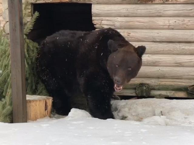 Весна близко: в челябинском зоопарке проснулся бурый медведь Степан