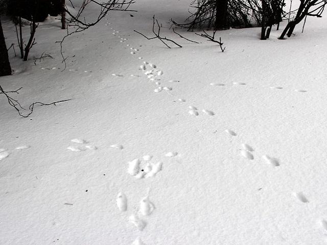 В Челябинской области обнаружили заячий проспект