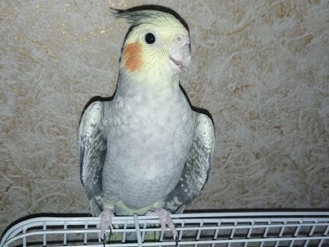 В Челябинской области домашний попугай улетел за 10 километров от дома