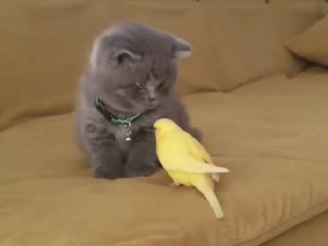 Сначала хотел дружить, но потом передумал: знакомство котенка с попугаем умилило Сеть
