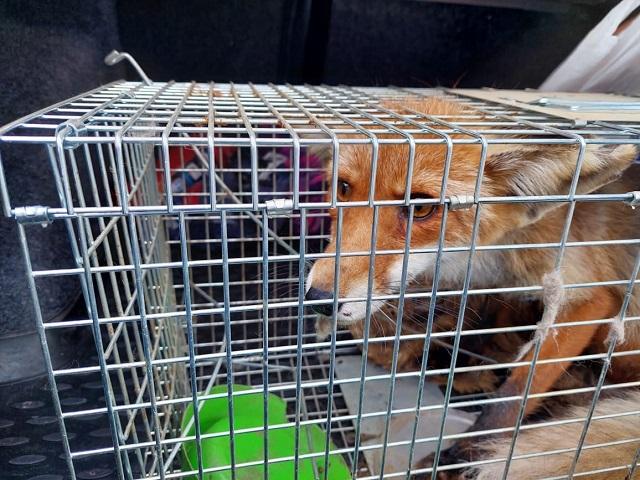 На Южном Урале в центре города поймали дикую лису