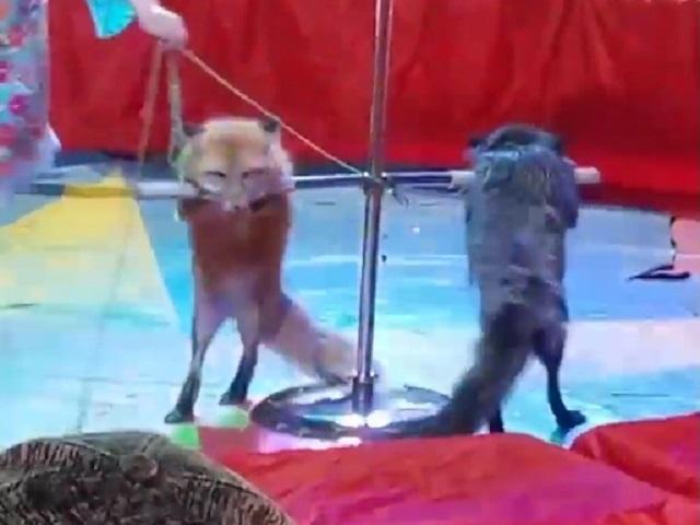 В Челябинской области зрителей шокировал вид лисиц в цирке