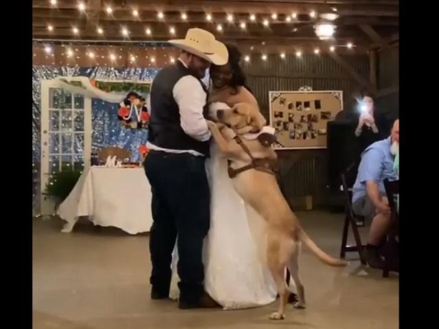 Лабрадор покорил Сеть свадебным танцем